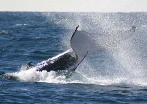 Whale Watching Sydney - Accommodation Australia