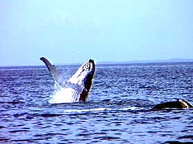 Whale Watching - Accommodation Australia